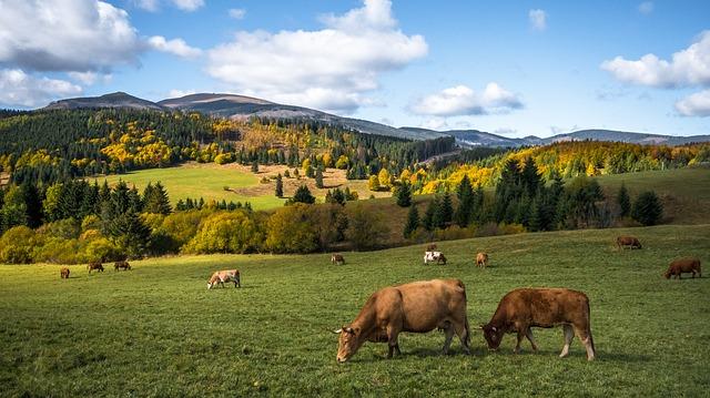 bovini al pascolo